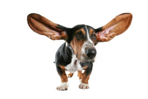 6 Mistakes to Avoid When Cleaning Your Dog's Ears