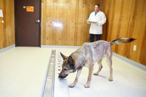 Japanese Town Seeks Help From Dogs To Sniff Out Stomach Cancer